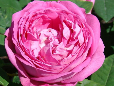 Rosa Comtesse Cecile de Chambrillant