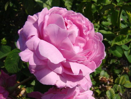 Rosa Coupe d'Hebe