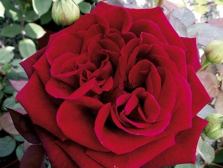 Rosa Deep Secret®