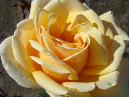 Rosa Diamond Jubilee