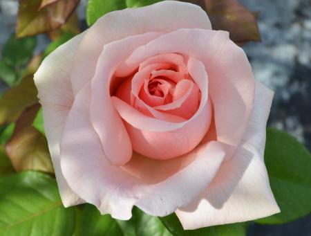 Rosa Donatella®