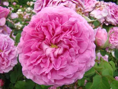 Rosa Duchesse de Berry
