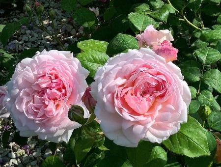 Rosa Eglantyne®