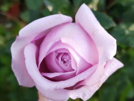 Rosa Eleanor®