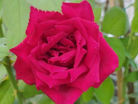 Rosa Ena Harkness