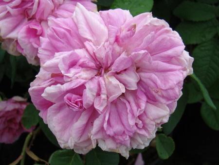Rosa Enfant de France