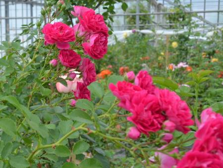 Rosa Excelsa