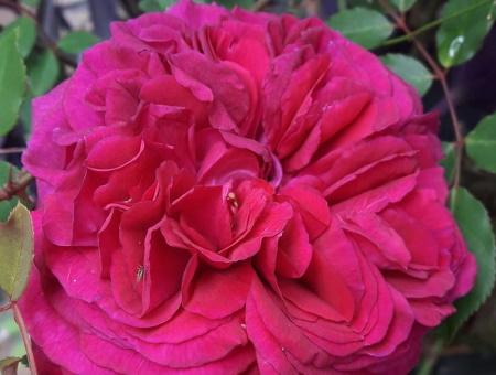 Rosa Falstaff®