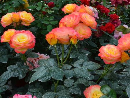 Rosa Flamina®
