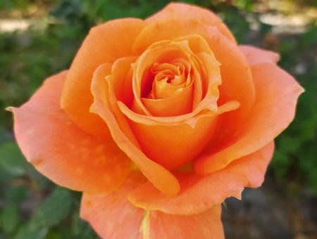 Rosa Flora Danica