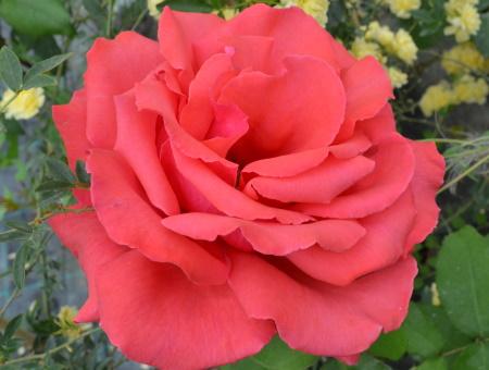 Rosa Fragrant Cloud