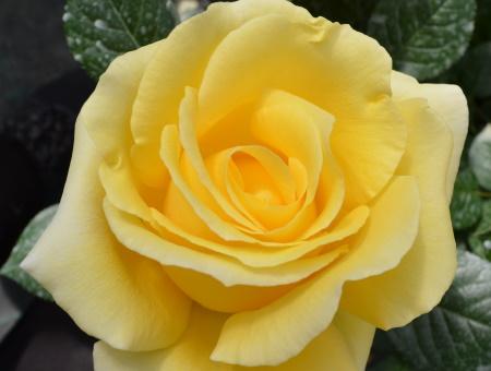 Rosa Glorious®