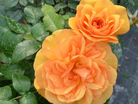 Rosa Golden Beauty