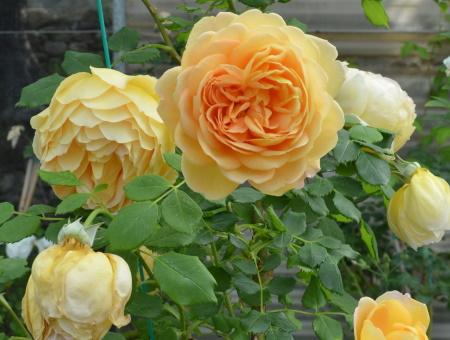 Rosa Golden Celebration®