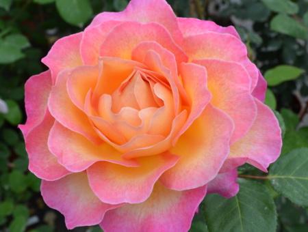 Rosa Gorgeous®
