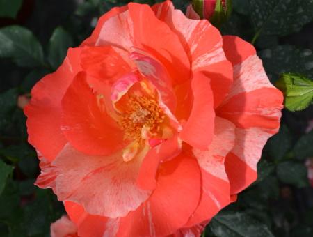 Rosa Grimaldi®