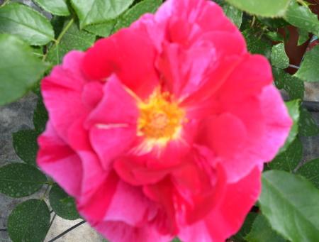 Rosa Guy Savoy®