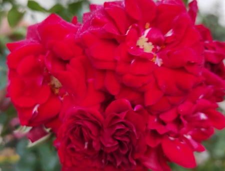 Rosa Hello®