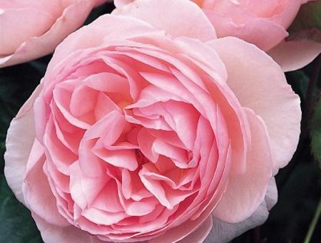 Rosa Heritage®