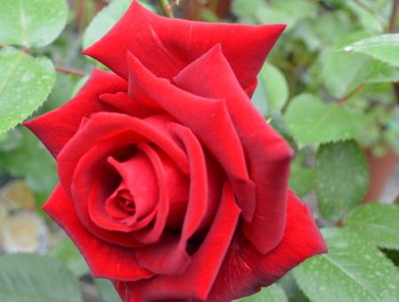 Rosa Ingrid Bergman®