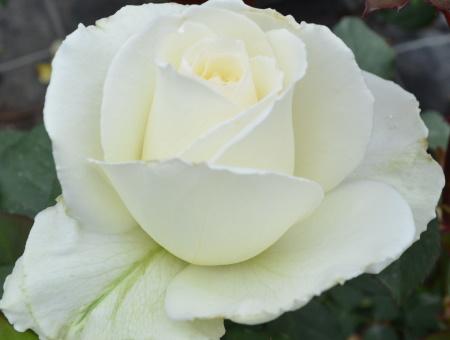 Rosa Isis