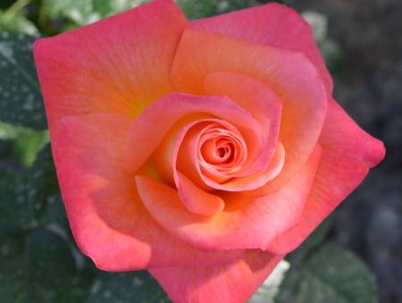 Rosa Jam and Jerusalem®