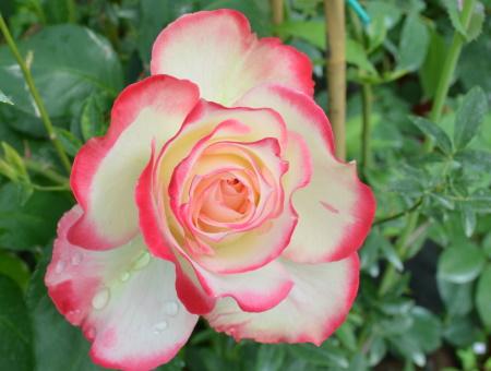 Rosa Jubilee du Prince de Monaco®