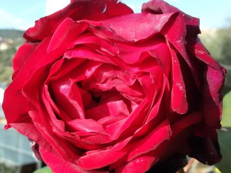 Rosa Jubilee Papa Meilland®
