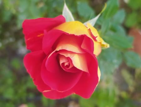 Rosa Ketchup and Mustard®