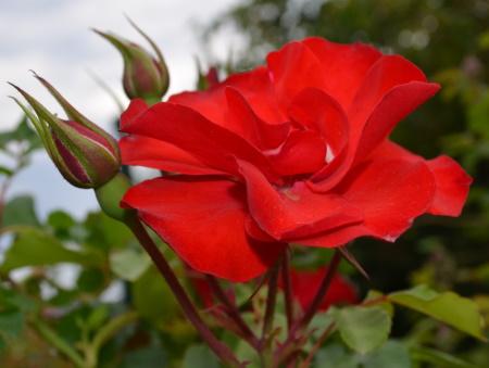 Rosa la Sevillana®