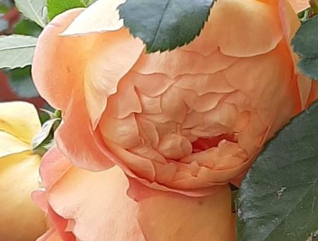 Rosa Lady of Shalott®