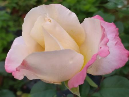 Rosa Laetitia Casta®