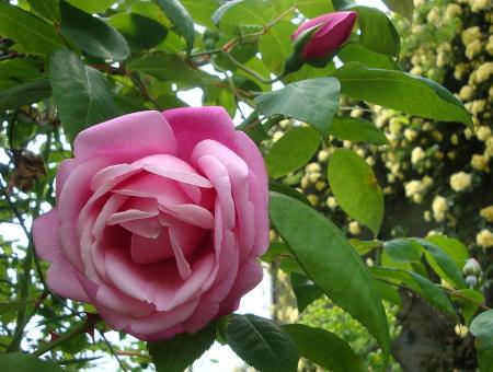 Rosa le Vesuve