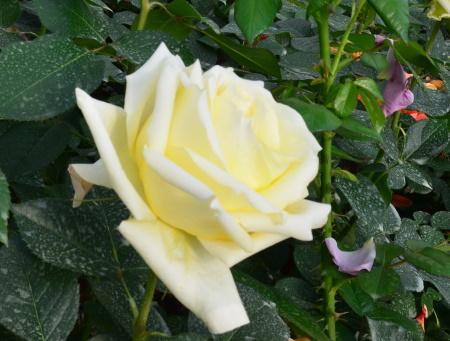 Rosa Lemon Beauty®