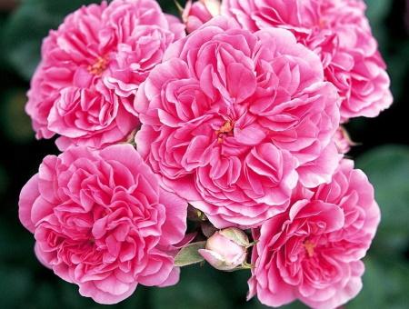 Rosa les Quatre Saisons®