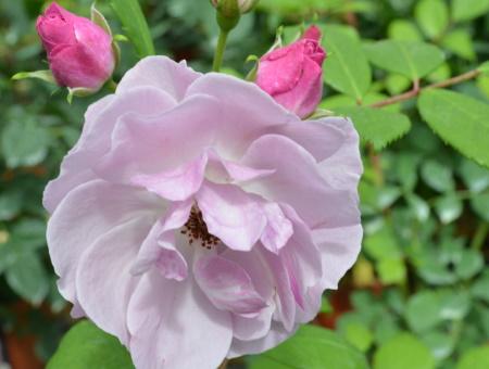 Rosa Lilac Bouquet