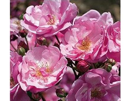 Rosa Louis Bleriot®