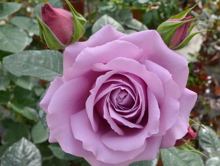 Rosa Love Song®