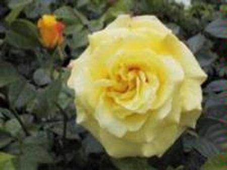 Rosa Lucia