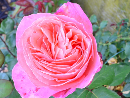 Rosa Mademoiselle Meilland®