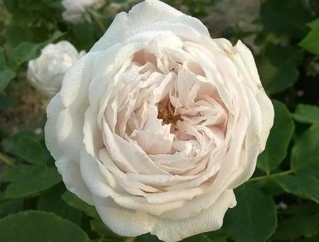 Rosa Marie Dermar