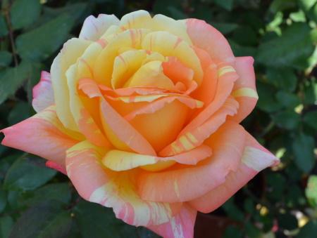 Rosa Marvelle®