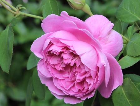 Rosa Mary Rose®