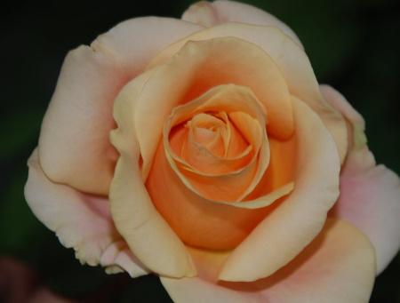 Rosa Marylin Monroe®