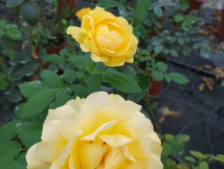 Rosa Michelangelo®