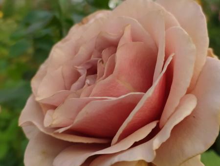 Rosa Mokarosa®