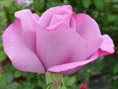 Rosa Moody Blue