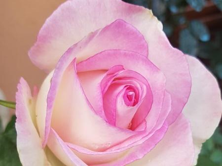Rosa Moonstone®