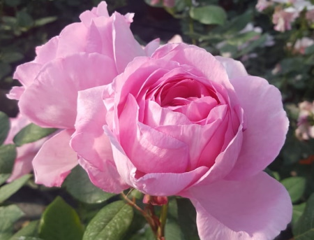 Rosa Mum in a Million®