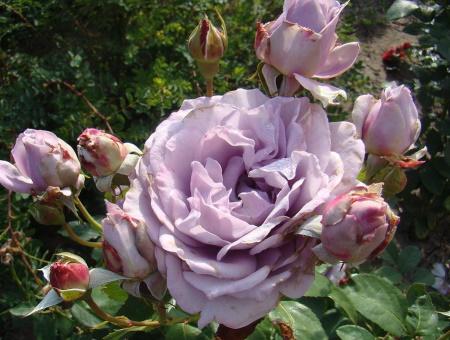 Rosa Novalis®